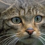 Gato cantábrico