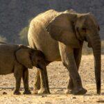 Madre y cría elefantes