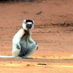 Animales Maravillosos - Lemur suelo árido