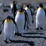 Animales Maravillosos - Pingüinos